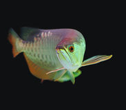 Asian Arowana fish Stock Images