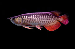 Asian Arowana fish on black background Royalty Free Stock Images