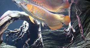 Asian arowana Stock Photo
