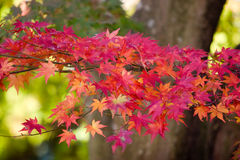 Asian autumn. Nice colored asian autumn, japanese leafs Royalty Free Stock Image