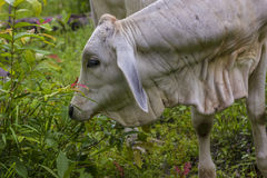 Asian baby cow in the wild forest. Stock Images