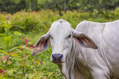 Asian baby cow in the wild forest Stock Photos