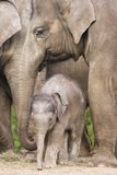 Asian baby elephant. Standing between the big legs of her family royalty free stock images