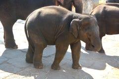 Asian Baby Elephant Royalty Free Stock Photo