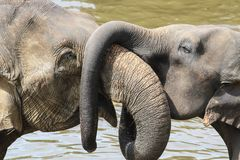 Asian baby elephant hug mother with trunk, lowe. Asian baby elephant elephas maximus hug mother with trunk, lowe stock photo