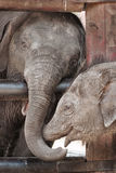 Asian baby elephant stock images