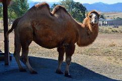 Asian Bactrian Camel Royalty Free Stock Photography