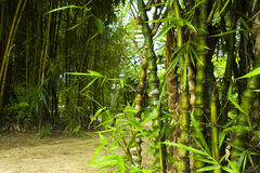 Asian Bamboo forest Royalty Free Stock Images