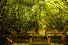 Asian Bamboo Forest Stock Photography