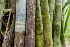 Asian Bamboo forest - abstract background. Green Asian Bamboo forest, abstract background with shallow depth of field Stock Image