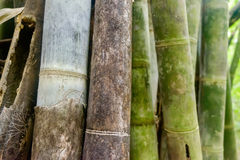 Asian Bamboo forest - abstract background. Green Asian Bamboo forest, abstract background with shallow depth of field Royalty Free Stock Images