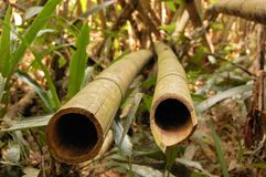 Asian Bamboo forest. In Khao Sok national park, Thailand Royalty Free Stock Photo