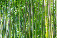 Asian bamboo forest Royalty Free Stock Photo