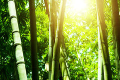 Asian bamboo forest with sun light Royalty Free Stock Image