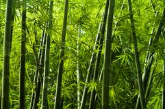 Asian bamboo tree. Lanscape of bamboo tree in tropical rainforest, Malaysia stock photo