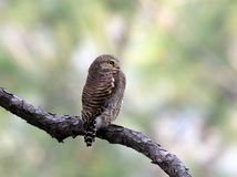 Asian barred owl. The Asian barred owlet is a species of true owl, resident in northern parts of the Indian Subcontinent and parts of Southeast Asia. It ranges stock images