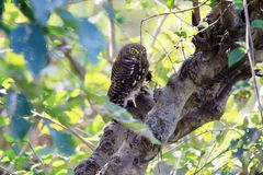 Asian barred owl. The Asian barred owlet is a species of true owl, resident in northern parts of the Indian Subcontinent and parts of Southeast Asia. It ranges stock photo