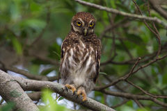 Asian Barred Owlet Royalty Free Stock Image
