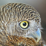 Asian Barred Owlet Royalty Free Stock Photography