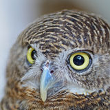 Asian Barred Owlet Stock Images