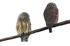 Asian Barred Owlet. Couple of Asian Barred Owlet (Glaucidium cuculoides) on white background Royalty Free Stock Image