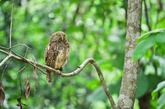 Asian Barred Owlet Royalty Free Stock Photos