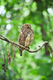 Asian Barred Owlet Stock Photography