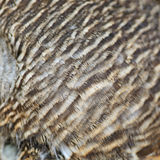Asian Barred Owlet feathers Royalty Free Stock Photo