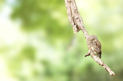 Asian Barred Owlet (Glaucidium cuculoides).  Stock Image