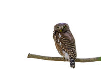 Asian barred owlet or Glaucidium cuculoides. Asian barred owlet or Glaucidium cuculoides, beautiful bird isolated on branch with white background royalty free stock images