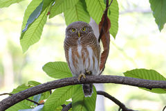 Asian barred owlet Glaucidium cuculoides Royalty Free Stock Images