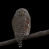 Asian Barred Owlet. (Glaucidium cuculoides) on black background Royalty Free Stock Photos