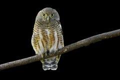 Asian Barred Owlet Royalty Free Stock Photos