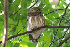 Asian barred owlet Glaucidium cuculoides Cute Birds of Thailand Stock Photos