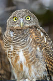 Asian Barred Owlet Stock Image