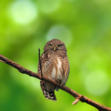 Asian Barred Owlet. (Glaucidium cuculoides) is a species of true owl Royalty Free Stock Photography