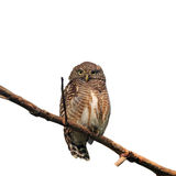 Asian Barred Owlet. (Glaucidium cuculoides) on white background Royalty Free Stock Photos