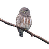 Asian Barred Owlet. (Glaucidium cuculoides) on white background Stock Photos