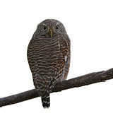 Asian Barred Owlet. (Glaucidium cuculoides) on white background Royalty Free Stock Photography