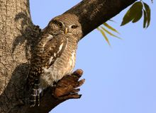 Asian barred owl. The Asian barred owlet is a species of true owl, resident in northern parts of the Indian Subcontinent and parts of Southeast Asia. It ranges royalty free stock photography