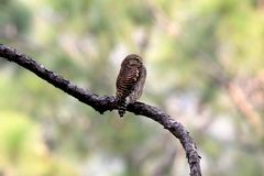 Asian barred owl. The Asian barred owlet is a species of true owl, resident in northern parts of the Indian Subcontinent and parts of Southeast Asia. It ranges stock image