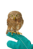 Asian Barred Owlet on training gloves Stock Photo