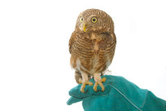 Asian Barred Owlet  on training gloves Stock Images
