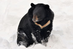 Asian bear Stock Photos