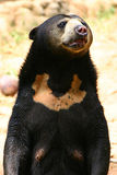 Asian Bear Royalty Free Stock Images