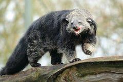 Asian bearcat Stock Photos