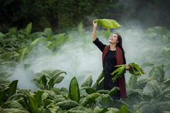 Asian beautiful girl are harvested tobacco in a tobacco farm dia Stock Photos