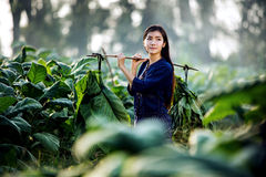 Asian beautiful girl are harvested tobacco in a tobacco farm diameter. royalty free stock photos