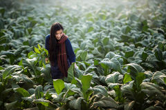 Asian beautiful girl are harvested tobacco in a tobacco farm diameter. stock image