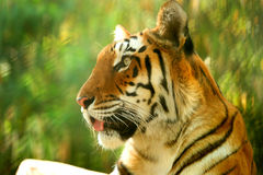 Asian beautiful tiger. Tiger is the largest feline predator Royalty Free Stock Photo